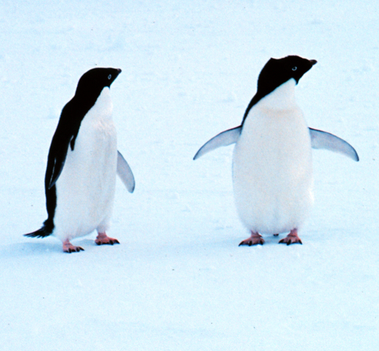two Adelie penguins