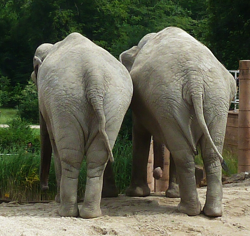 elephant behinds