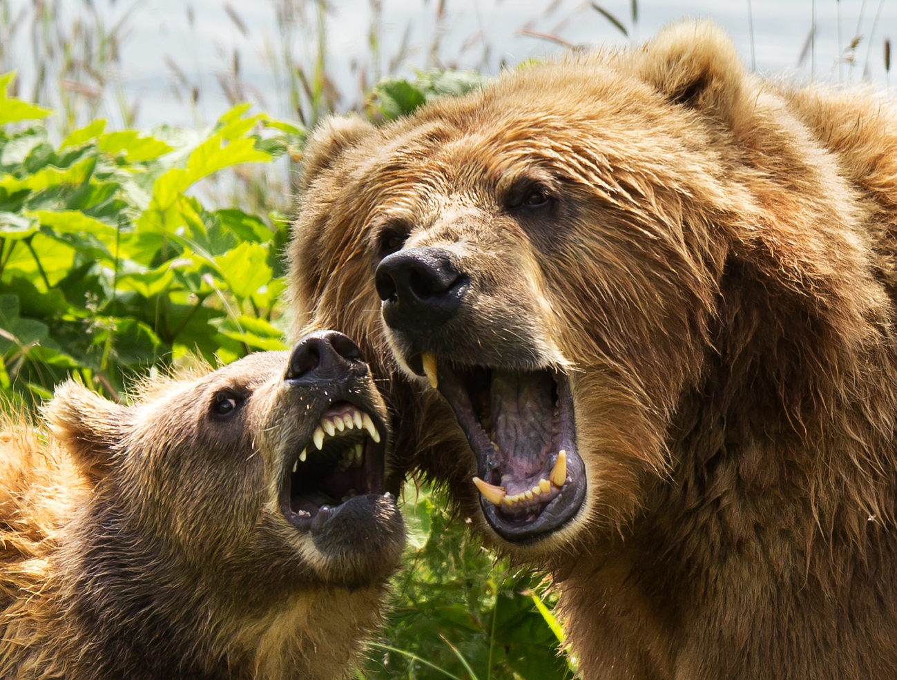 two Kodiak bears, showing teeth