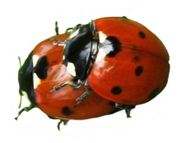 Two ladybugs clipart