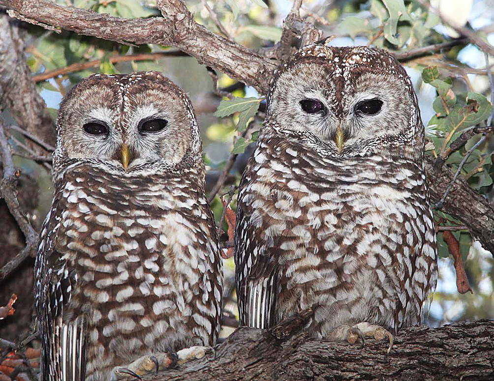 two spotted owls on branch