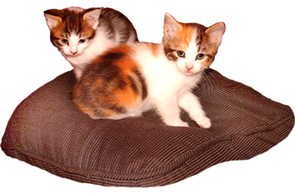 two three color kittens on pillow