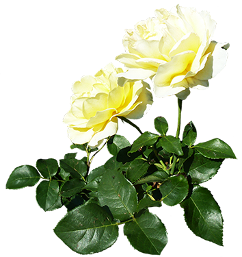 two white roses with leaves