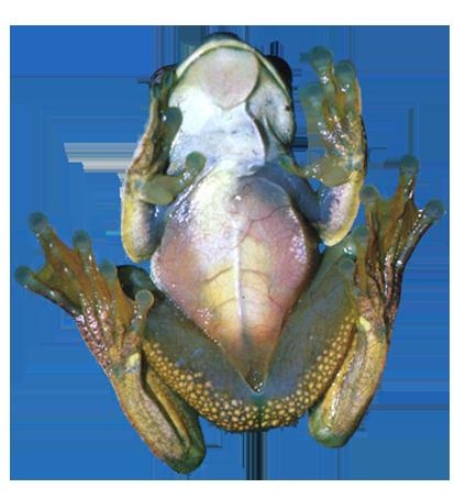 underside of frog