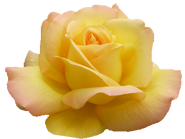 Valentine soft yellow rose