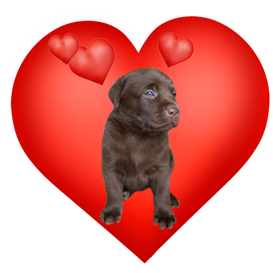cute Valentine heart with labrador puppy