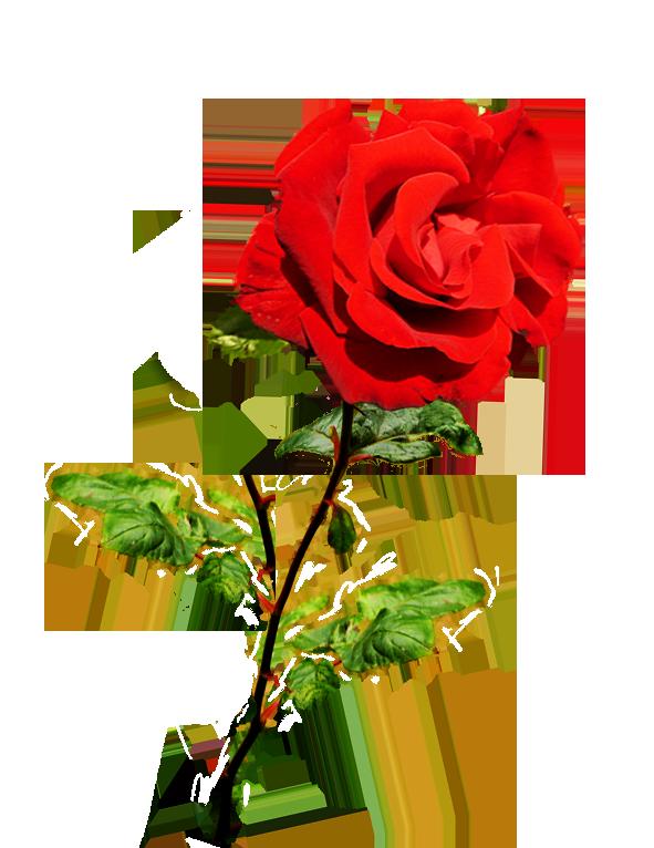 Valentine red rose on stalk