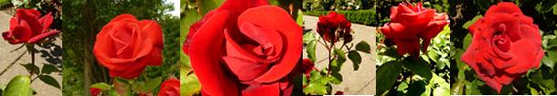Valentine Day Roses border