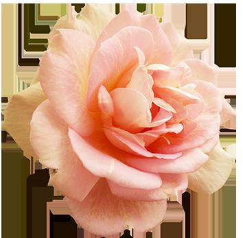 Valentine's Day Pink Rose