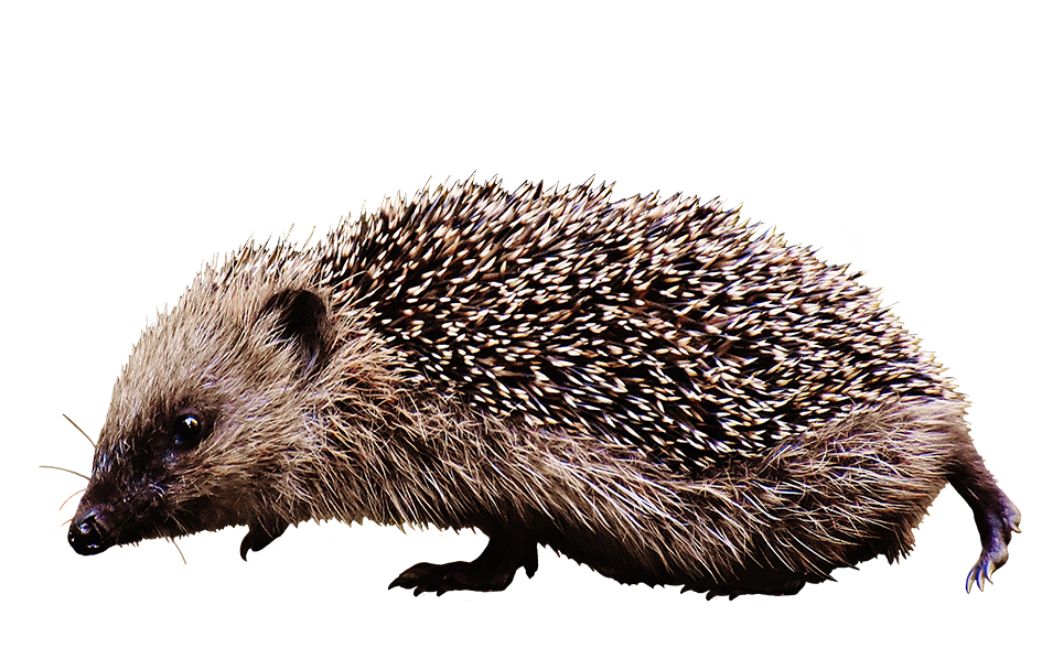 clipart of walking hedgehog