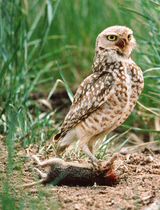 western burrowing owl with mouse