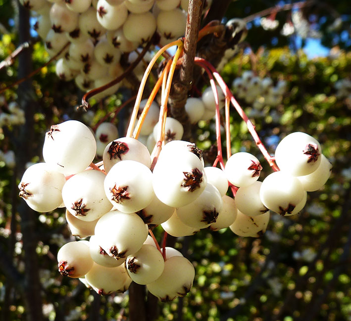 white fall berries