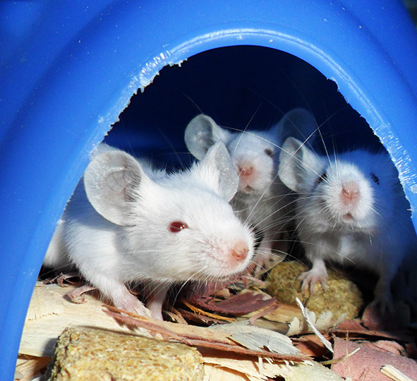 white mice picture