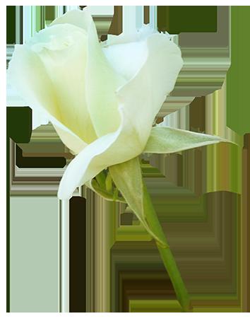 white rose bud