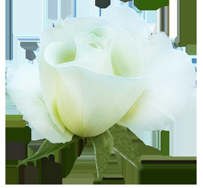 white rose in bloom