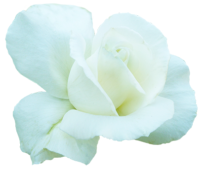 white rose for Valentine's Day