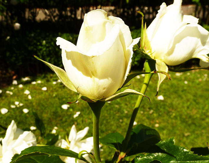 white roses blooming