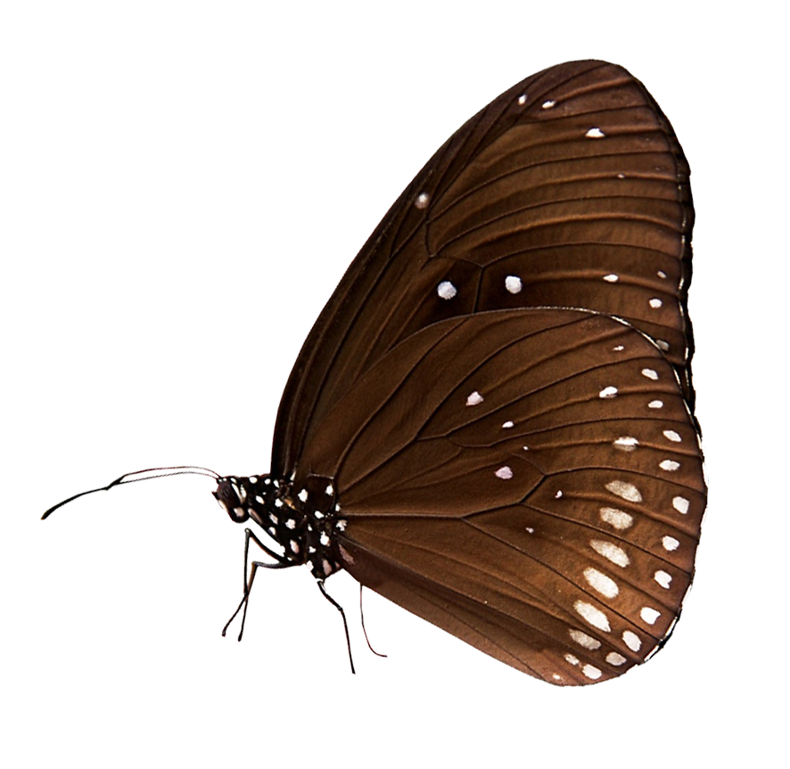 white spotted butterfly clipart