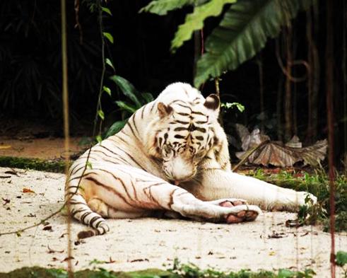 white tiger licking itself