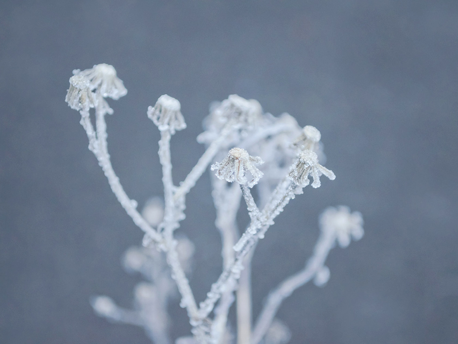 plant with winter frost