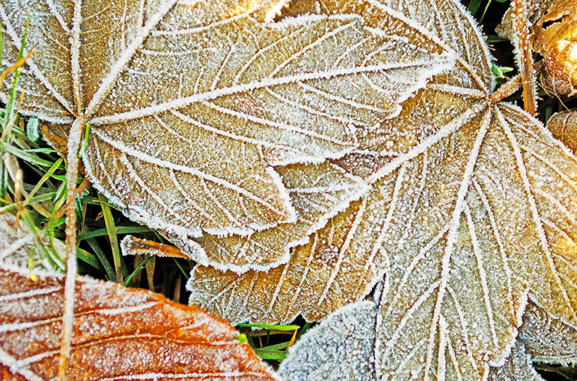 frozen winter leaves
