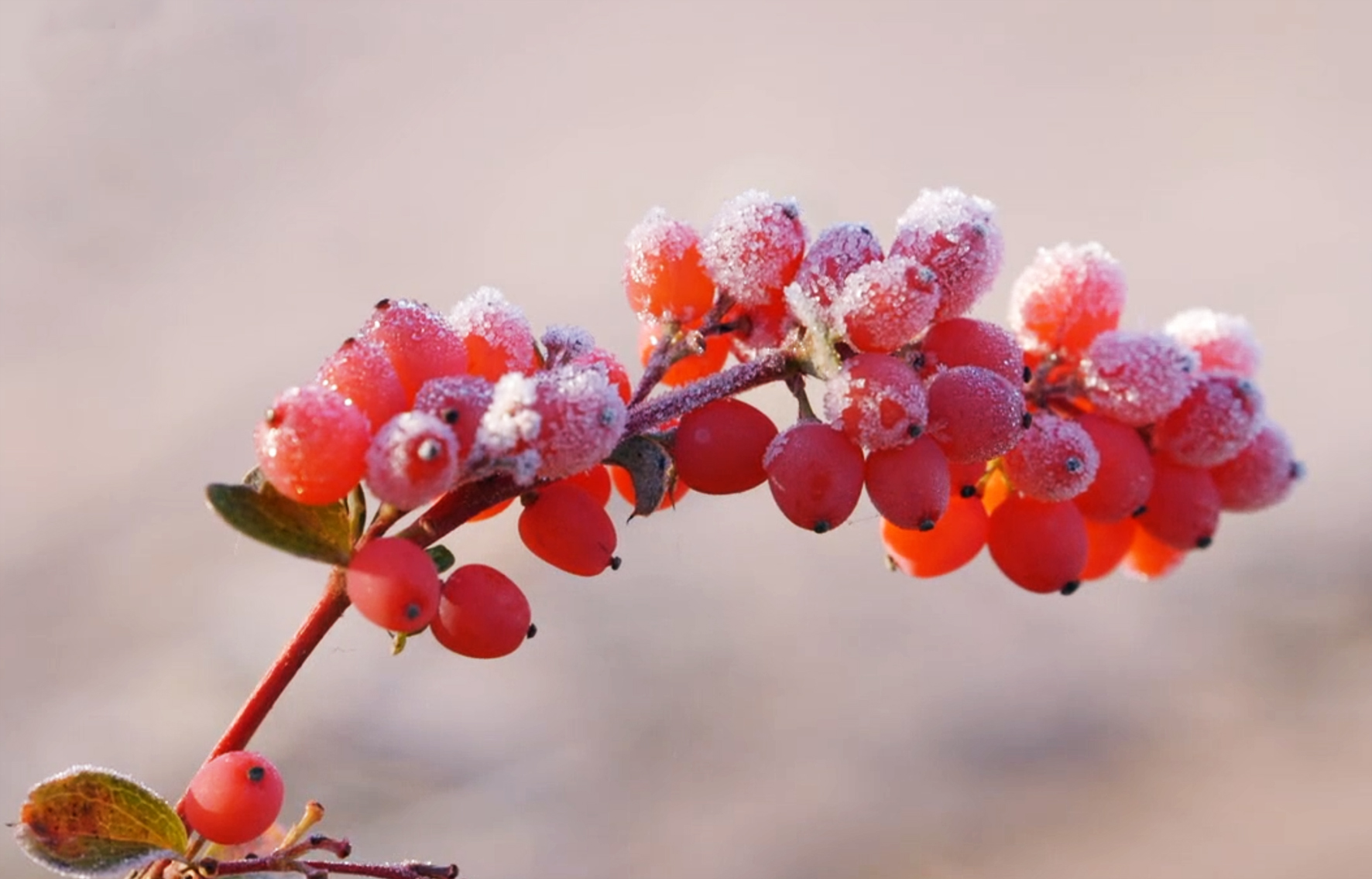 winter branch with red berries