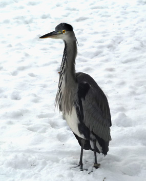 winter pictures heron in snow