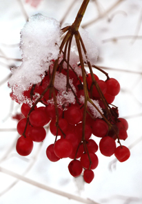 winter pictures red berries in snow