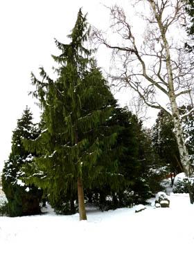 winter pictures tall tree