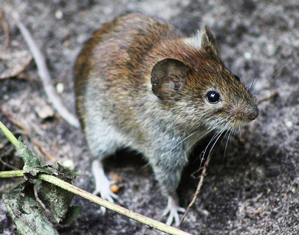 picture of wood mouse