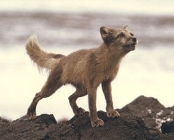 arctic fox summer coat animal facts
