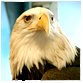 animal facts bald eagle
