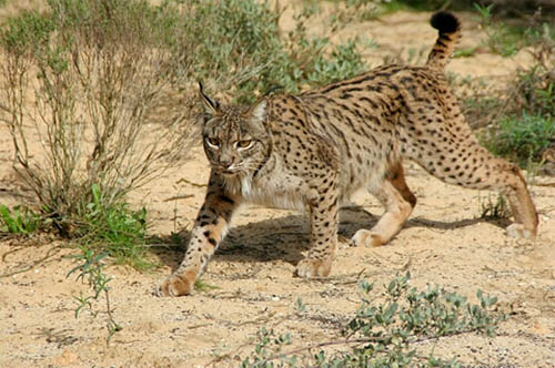 animal facts iberian lynx pardinus