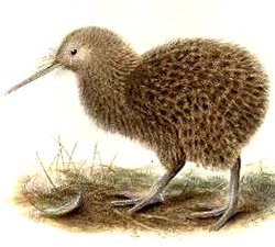 animal facts kiwi