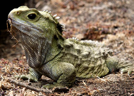 tuatara animals facts