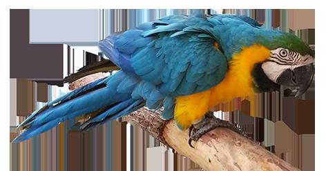 blue orange parrot