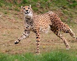 cheetah facts gepard speed