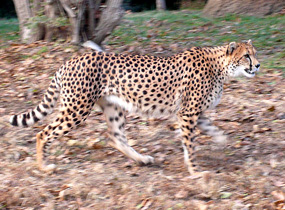cheetah gepard walking