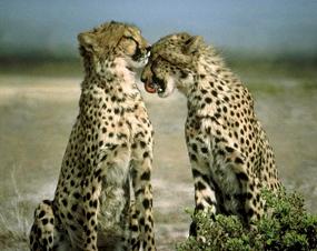 two cheetahs juvenile