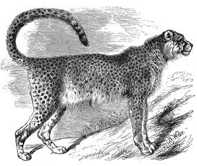 Drawing of Asiatic cheetah