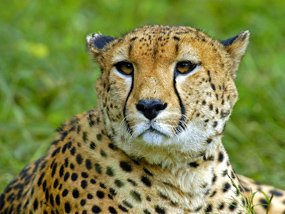 cheetah facts juvenile gepard