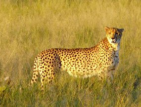 cheetah facts national park Africa
