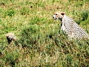 cheetah with cub savannah