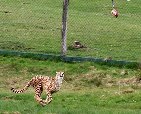 cheetah hunting meat