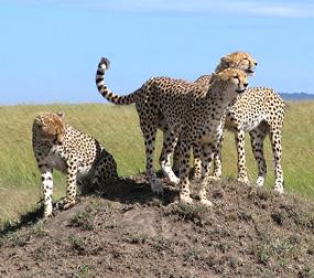 cheetah-pictures-masai-mara