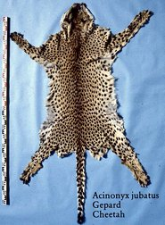 skin of cheetah