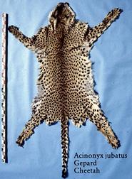 skin of cheetah
