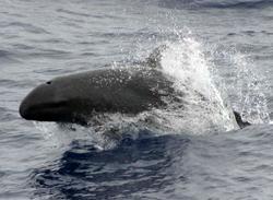 dolphin facts false killer whale