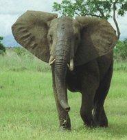 africana male elephant