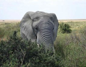 african buch elephant eating